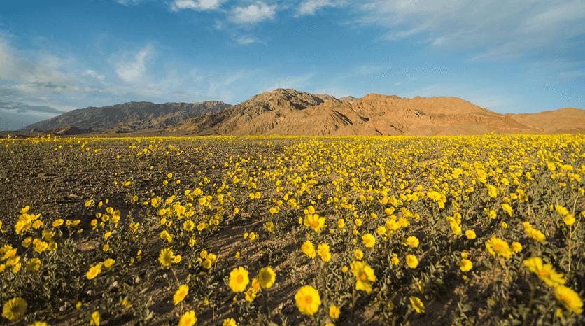 Flores Silvestres em Las Vegas